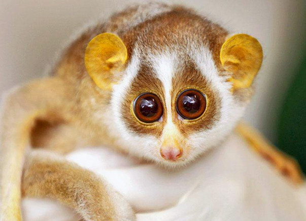 Help Conserve The Endangered Loris