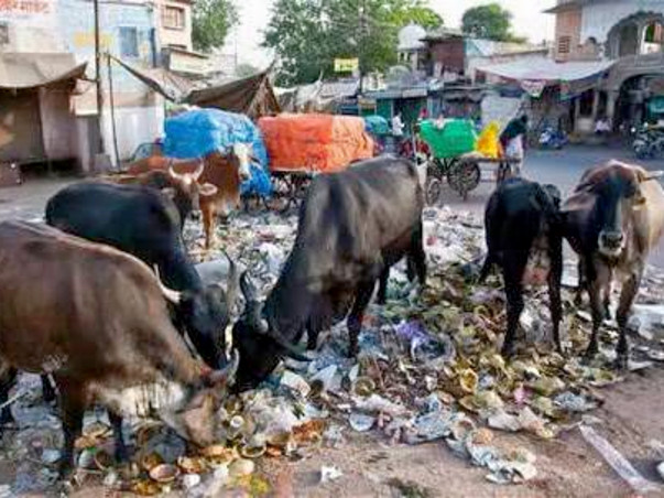Home, Food , Care & Medical facilities to stray cows of NCR