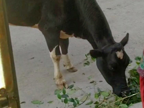 Hungry Poor Cow Needs Your Help in Her Bad Time