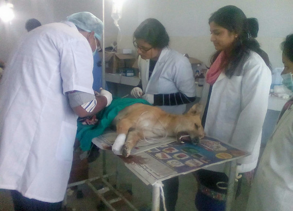 Sterilisation and vaccination of stray dogs in Kumaon, Uttarakhand
