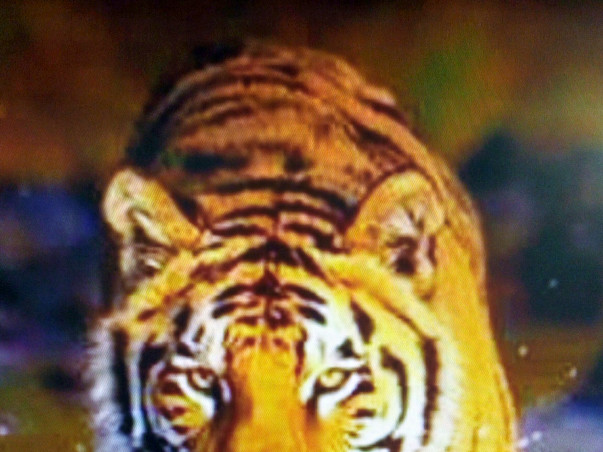 Help FFAR India save the Tigers in the wild of India