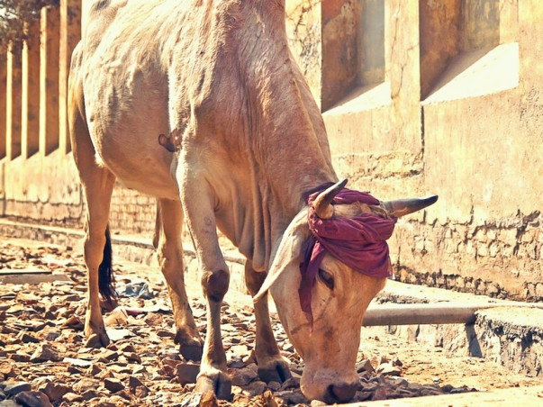Help Stray Cows For Food, Home Care & Medical Facilities