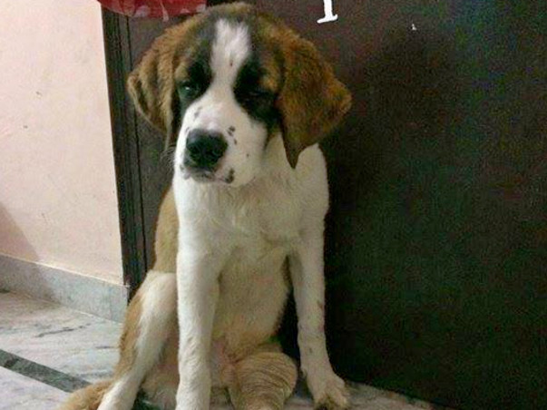 Save an injured St. Bernard with multiple injuries