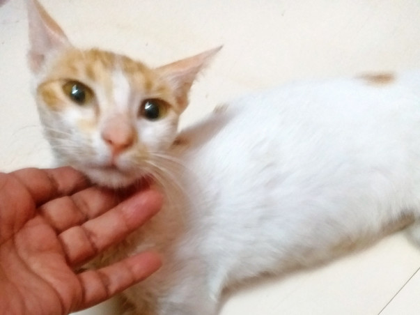 Urgent fund appeal for Naughty The Poisoned Cat with Hepatitis