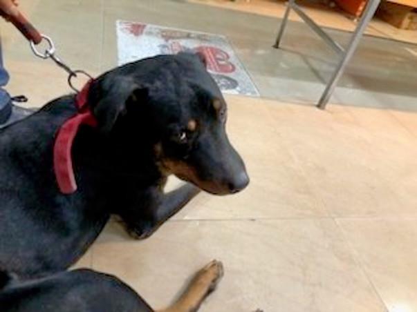 Help Rotty- Help Save An Abandoned Dog
