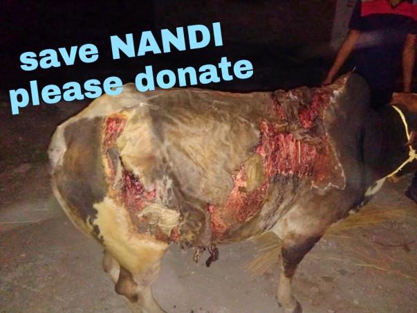 Help Nandi-Cow To Survive