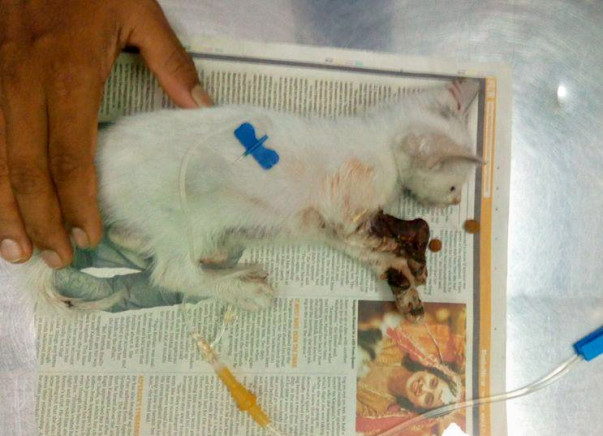 Help save Chhotu!