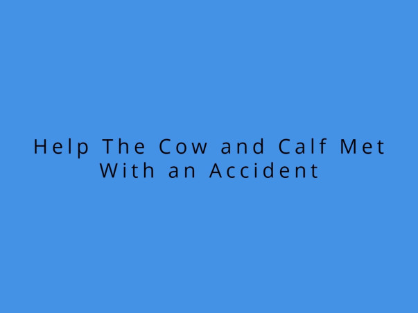 Help The Cow and Calf Met With an Accident