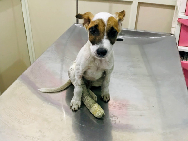 Please Save Veer, An Injured Puppy